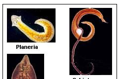 Jenis Jenis Cacing Platyhelmintes