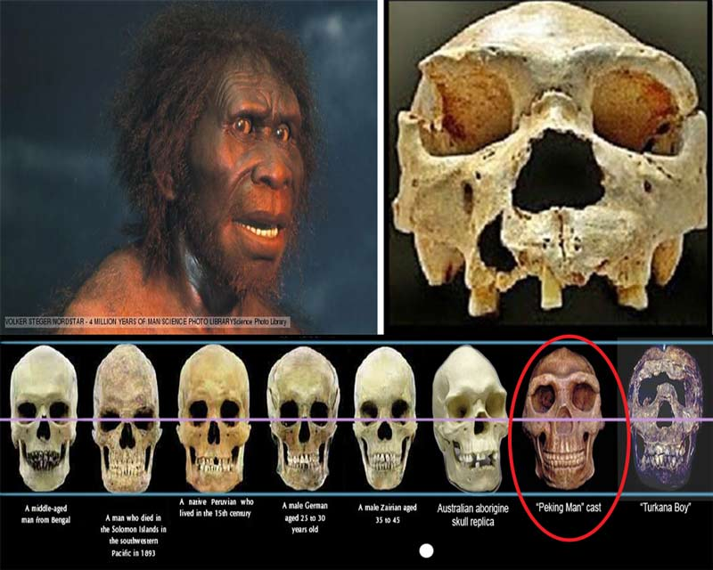 Sejarah Pithecanthropus Mojokertensis dan Ciri-Cirinya ...