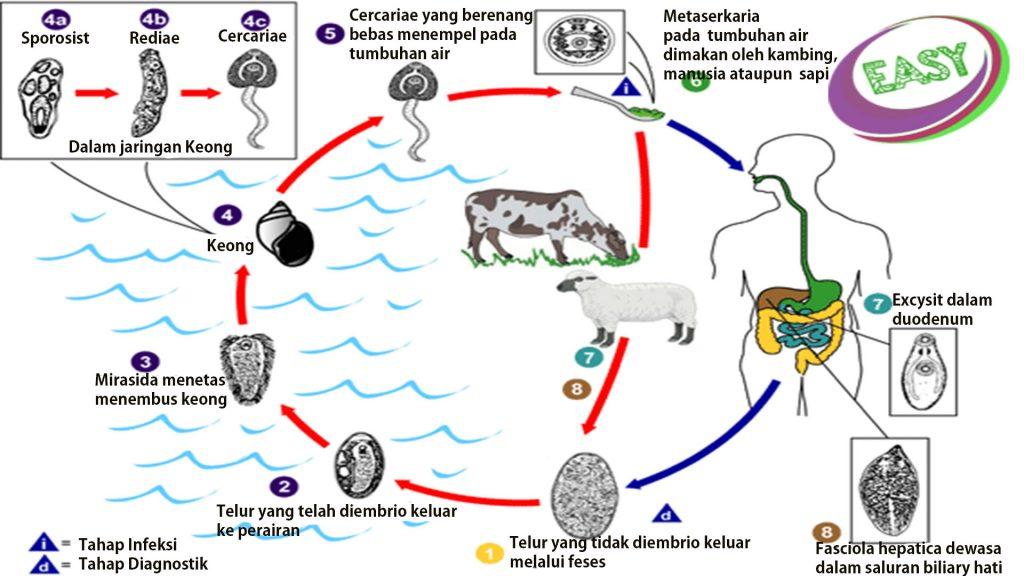 Siklus hidup cacing pipih Fasciola Hepatica