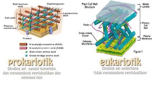 perbedaan sel prokariotik dan eukariotik dari segi dinding sel dan kompleksitasnya