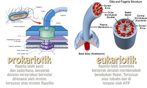 perbedaan sel prokariotik dan eukariotik dan perbedaan flagella prokariotik dan eukariotik
