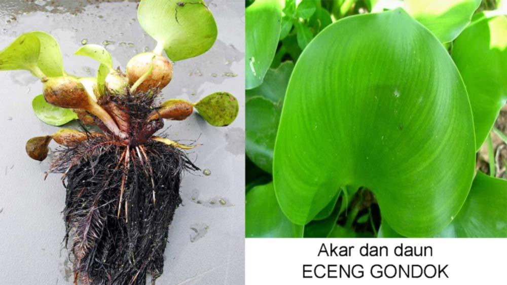 ciri khusus eceng gondok : Bentuk daun dan akar eceng gondok