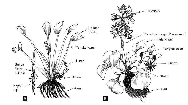Morfologi eceng gondok dan ciri khusus eceng gondok