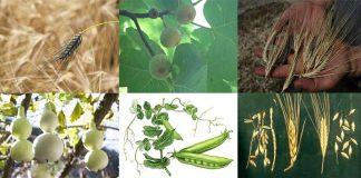 Bercocok tanam manusia: enam tanaman yang pertama dalam bercocok tanam manusia