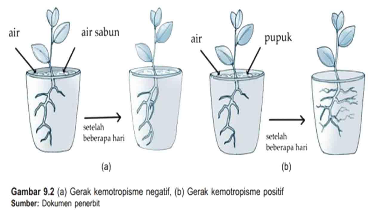 Contoh gerak Kemotropisme - Eksperimen Kemotropisme