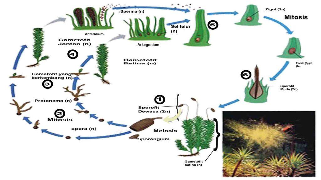 Bagan metagenesis lumut