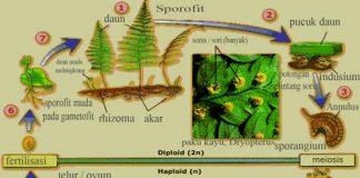 Metagenesis tumbuhan paku dan skema metagenesisMetagenesis tumbuhan paku dan skema metagenesis
