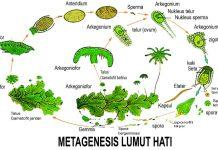 Skema metagenesis lumut hati Marchantia polymorpha
