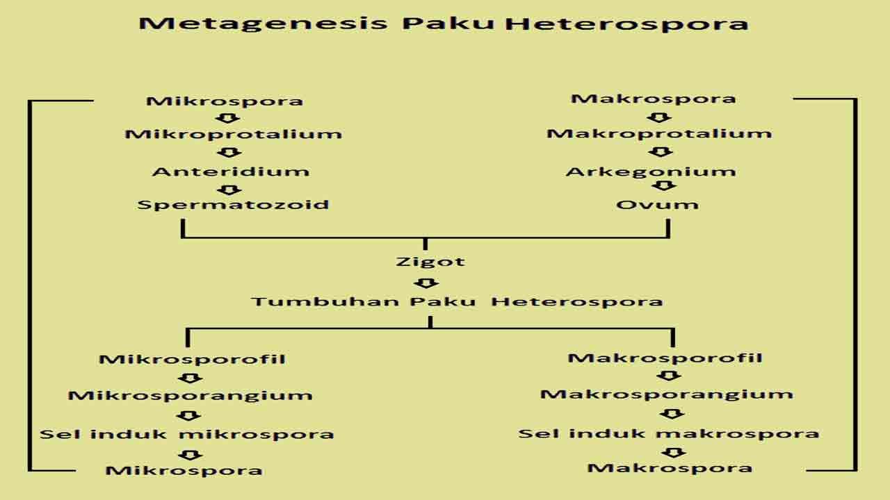 Skema metagenesis paku heterospora