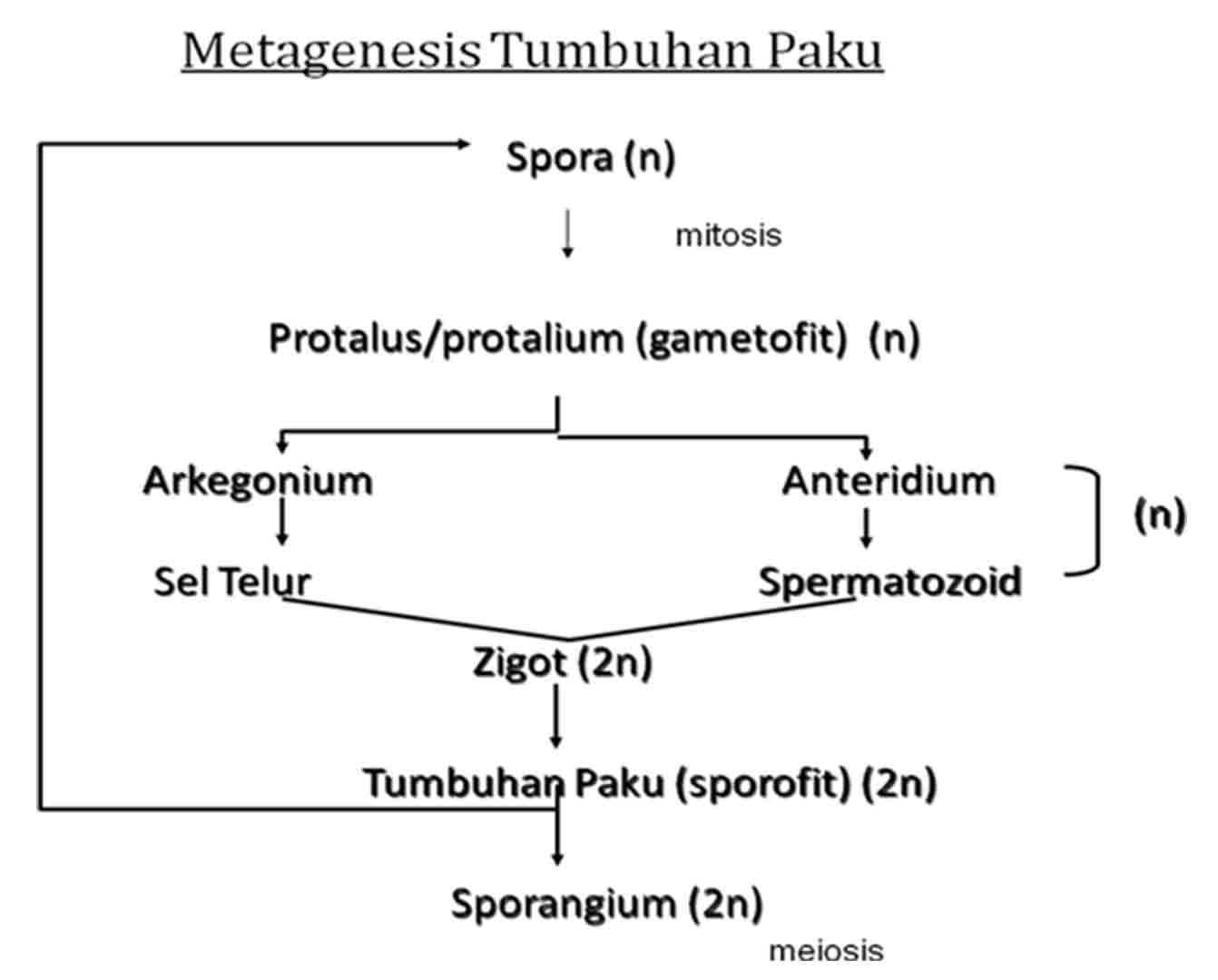 Skema metagenesis paku contoh metagenesis pada paku