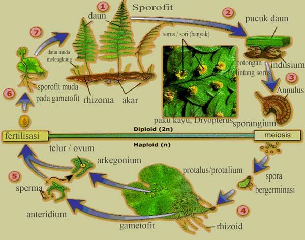 skema metagenesis tumbuhan paku kayu Dryopterus
