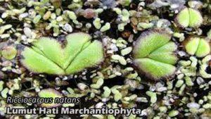 Contoh lumut hati Ricciocarpus natans