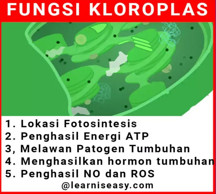 Fungsi Kloroplas sel tumbuhan