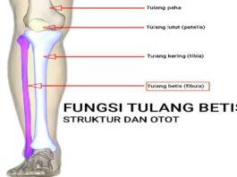 fungsi tulang betis dan struktur tulang betis