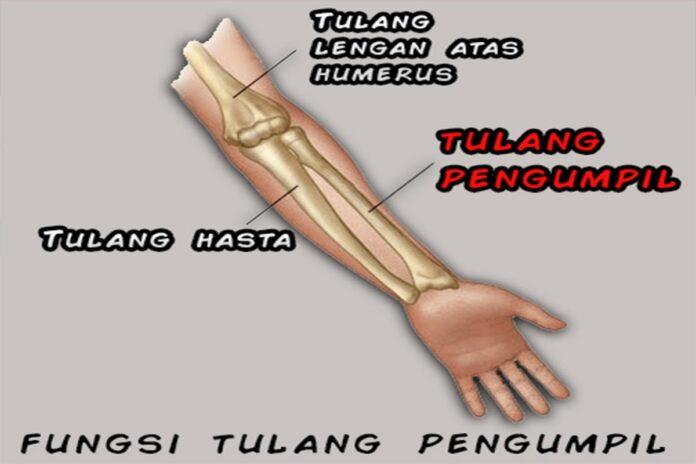 fungsi-tulang-hasta