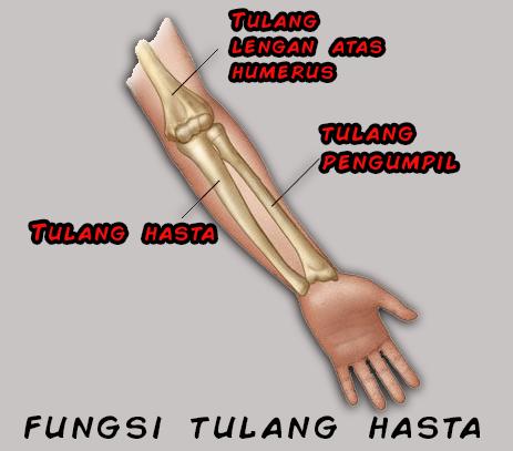 fungsi tulang hasta dan strukturnya