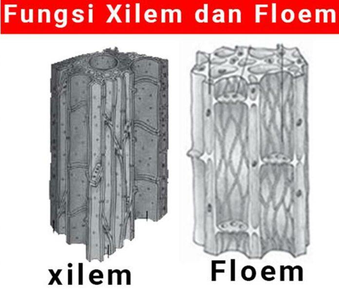 fungsi xilem dan floem utama