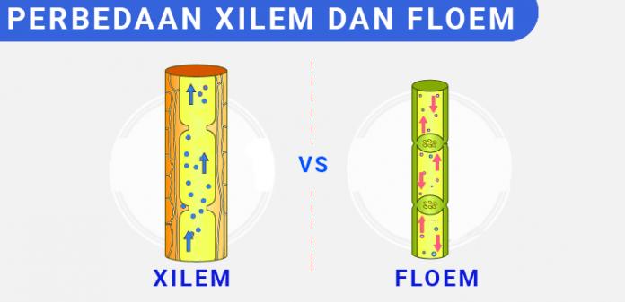 Perbedaan xilem dan floem