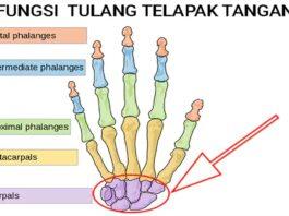 fungsi tulang telapak tangan dan struktur lengkap