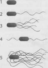 Bentuk flagela bakteri